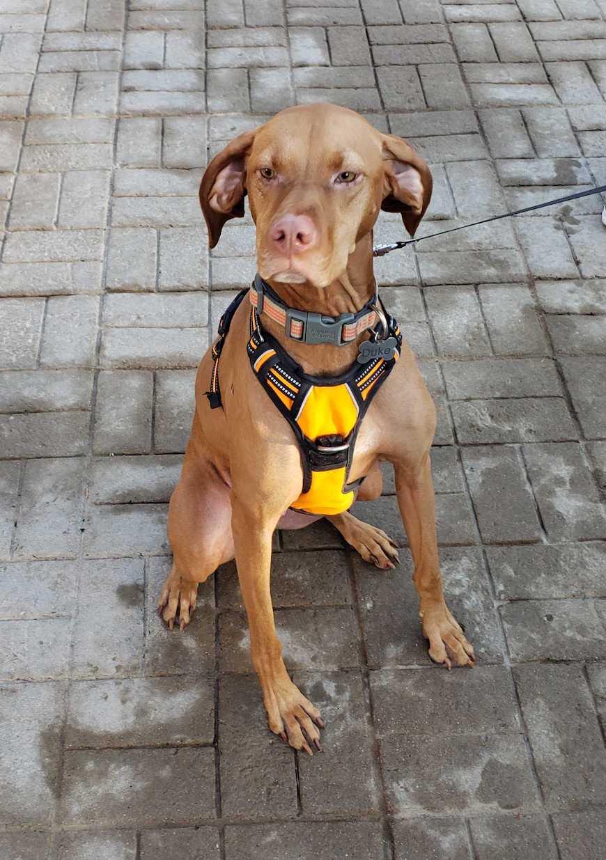 Duke, the vizsla